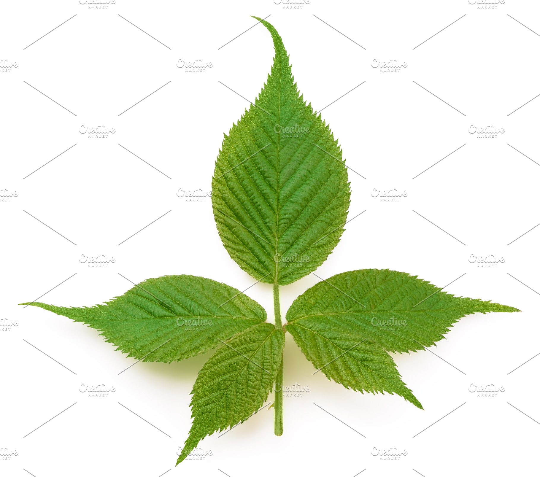 young leafs high qualty pic